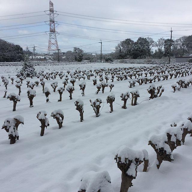 雪。降りました#桑#明日葉#月見草#モリンガ#青汁#健康茶#血糖値対策#耕作放棄地活用#農福連携#ハーブ#有機JAS#滋賀県#SDGs#近江健康青汁#NHK