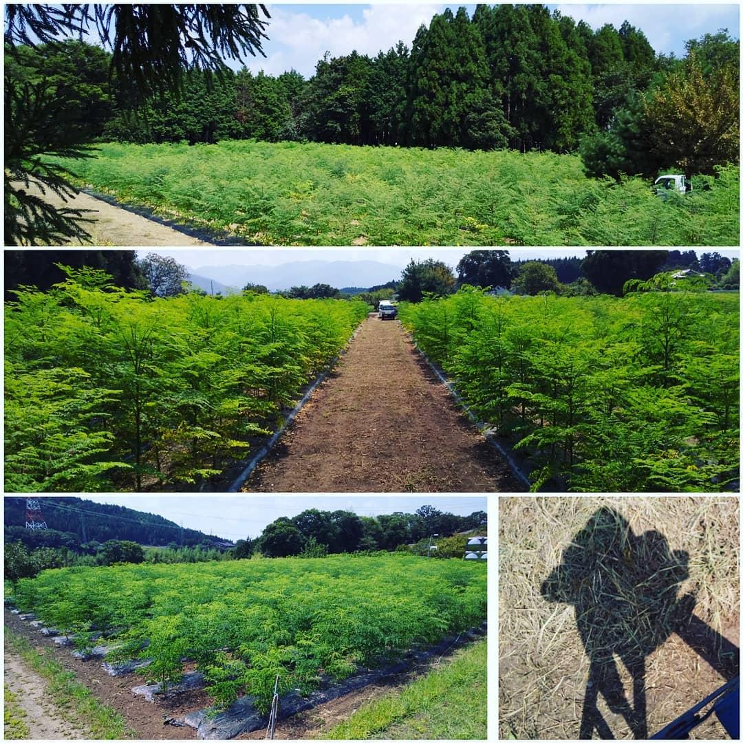 モリンガ畑やや上方向からの写真️成育記録です植えた時期、土質、種蒔きなのか苗を植えたのか、前に植わってたものはなんなのか。など違いはいろいろ。来年の参考にします。撮影は脚立に乗って。しかし暑かった!#永源寺マルベリー#オーガニック#有機農法#薬用植物#桑#農村風景#オーガニック好きな人と繋がりたい#風景#森のミルク#健康食品#健康志向の人と繋がりたい #記録写真#耕作放棄地活用 #体調管理#美と健康#実り#脚立#農園#無農薬有機栽培 #ポリフェノール#糖尿病#血糖値