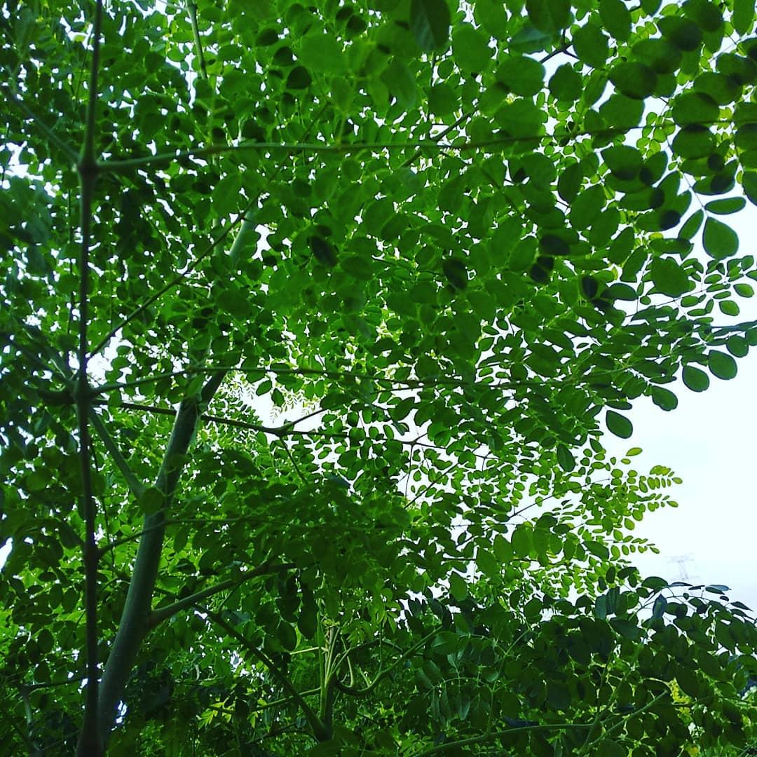 本日昼から️予報降る前までに️と鬼のスピードで収穫しました無事ノルマ達成ホームページはこちらへ️https://eigenji-mulberry.com#永源寺マルベリー#オーガニック#薬用植物#桑#明日葉#モリンガ#オーガニック好きな人と繋がりたい#organic#mulberry#organic farm#健康志向の人と繋がりたい #耕作放棄地活用 #健康#美容と健康#ポリフェノール#糖尿病#血糖値#桑摘み#サスティナブル#Moringa#ビーガン#菜食