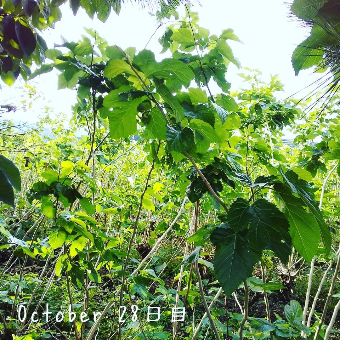 10/28 定点観測️本日の気温最低 6℃ 最高20℃寒暖差14℃️ホームページはこちらへ️https://eigenji-mulberry.com#永源寺マルベリー#オーガニック#薬用植物#桑#明日葉#モリンガ#オーガニック好きな人と繋がりたい#organic#mulberry#organic farm#健康志向の人と繋がりたい #耕作放棄地活用 #健康#美容と健康#ポリフェノール#糖尿病#血糖値#桑摘み#サスティナブル#寒暖差