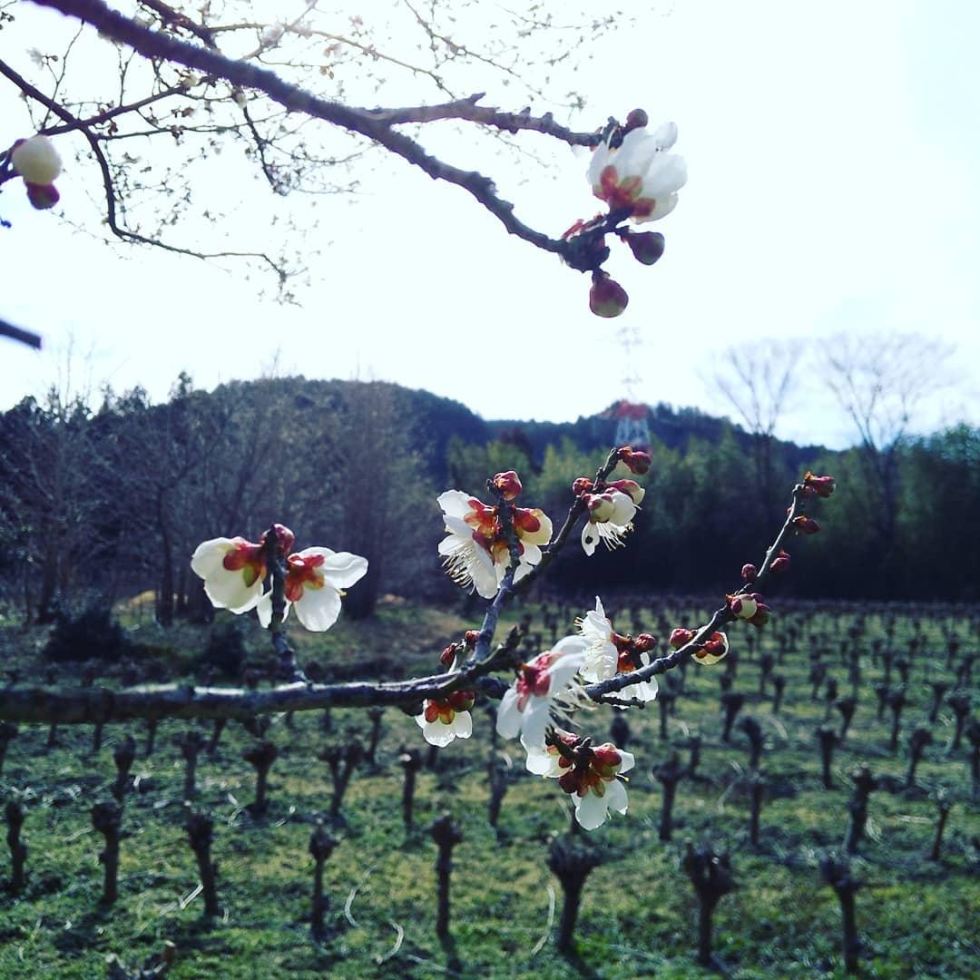 寒い寒いばかり言ってしまう毎日ですが、畑では梅の花が咲いてました白梅のよい香り春を懐かしく感じました️Organic農園『永源寺マルベリー』のホームページはプロフィールに記載しているURLからどうぞ!#永源寺マルベリー#オーガニック#薬用植物#桑#明日葉#モリンガ#オーガニック好きな人と繋がりたい#organic#mulberry#organic farm#健康志向の人と繋がりたい #耕作放棄地活用 #健康#美容と健康#ポリフェノール#糖尿病#血糖値#桑摘み#サスティナブル#白梅