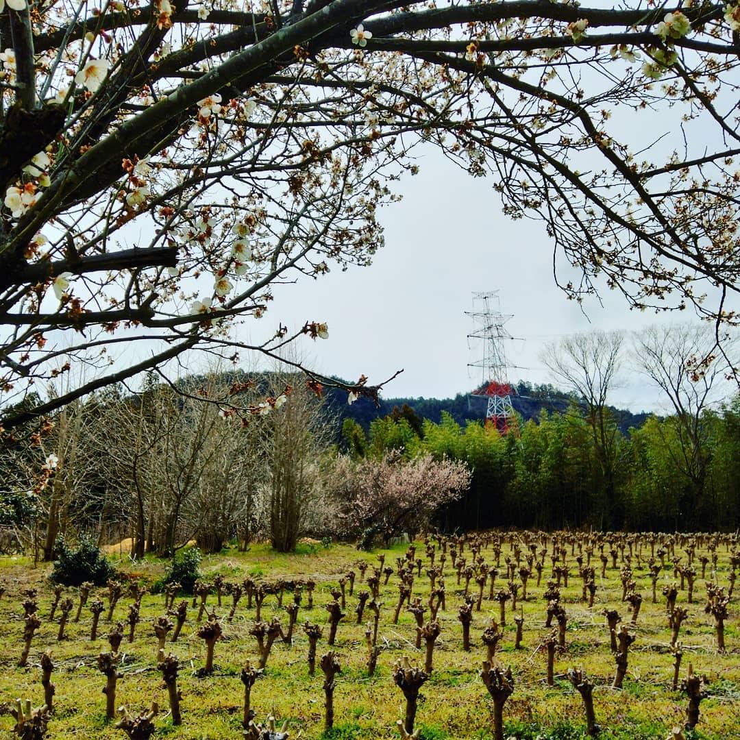 春めいてきましたあちこちで梅の花が満開です。#永源寺マルベリー#オーガニック#薬用植物#桑#明日葉#モリンガ#オーガニック好きな人と繋がりたい#organic#mulberry#organic farm#健康志向の人と繋がりたい #耕作放棄地活用 #健康#美容と健康#ポリフェノール#糖尿病#血糖値#桑摘み#サスティナブル#月見草・