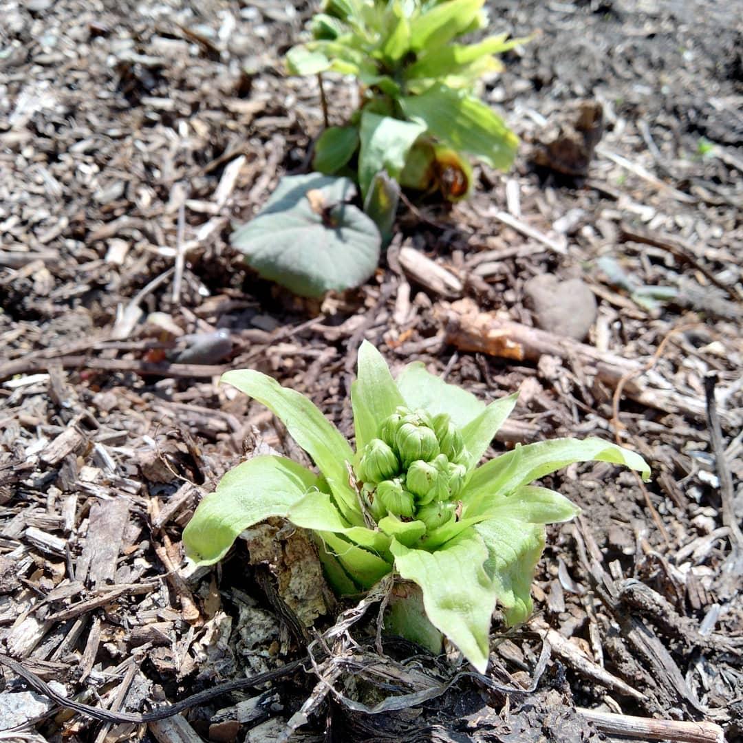 """山菜シリーズ山菜のはしりといえばふきのとう。茶色がちな早春の野山に黄緑色の新芽が目立ち、遠くからでもすぐ見つけられます。娘に写真を送ったら""""夜があけました""""と返信が。聞けば小学1年生の時に習った詩なのだとか。調べてみるとなかなかに素敵な詩でした。一一一一一一一一一ーーーーー「ふきのとう」  工藤直子夜があけました朝の光をあびて たけやぶのたけのはっぱが「さむかったね うん、さむかったね」とささやいてます雪がまだ少しのこって あたりはしんとしていますどこかがでちいさな声がしました「よいしょ よいしょ おもたいな」たけやぶのそばのふきのとうです雪のしたにすこしあたまをだして 雪をどけようとふんばっています「よいしょ よいしょ そとがみたいな」ごめんね、と雪がいいました「わたしもはやくとけて水になり とおくへいってあそびたいけど」とうえをみあげます「でも竹やぶのかげになってひがあたらない」とざんねんそうですすまない、と竹やぶがいいました「わたしたちもはやくゆれておどりたい ゆれておどれば雪に日があたる でもはるかぜがまだこない はるかぜがこないとおどれない」とざんねんそうですそらのうえでおひさまがわらいました「おや はるかぜがねぼうしているな 竹やぶも雪もふきのとうもみんなこまっているな」そこで南をむいていいました「おーい はるかぜおきなさい」     おひさまにおこされてはるかぜは おおきなあくびそれからせのびしていいました「や、おひさま や、みんなおまちどう」はるかぜはむねいっぱいいきをすい ふうっといきをはきました     はるかぜにふかれて 竹やぶがゆれるゆれるおどる雪がとけるとける 水になるふきのとうがふんばる せがのびる   ふかれて ゆれて とけて ふんばって もっこりふきのとうがかおをだしました「こんにちは」もうすっかりはるです一一一一一一一一一一一一一一Organic農園『永源寺マルベリー』のホームページはプロフィールに記載しているURLからどうぞ!#永源寺マルベリー#オーガニック#薬用植物#桑#明日葉#ふきのとう#オーガニック好きな人と繋がりたい#organic#mulberry#organic farm#健康志向の人と繋がりたい #耕作放棄地活用 #健康#美容と健康#ポリフェノール#糖尿病#血糖値#桑摘み#サスティナブル#マルチ"""
