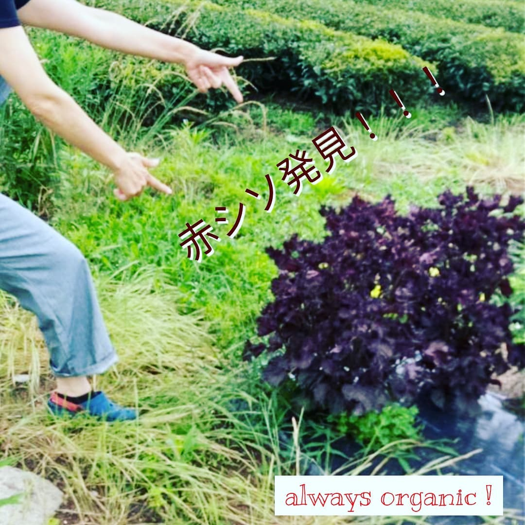 【always organic シリーズ】畑をパトロールしていたらマルチの穴から生えた赤シソを発見しました。土の中に種が混じってたのでしょう。よくあることです。ワサワサで素晴らしい。多幸感小躍りしました。迷わずしそジュースに。休憩時の飲み物として活躍中です楽天出店中「永源寺organic」で検索を!#国産#桑茶#明日葉#モリンガ茶#よもぎ#あおばな#青汁#滋賀県産#ハーブ#薬草#オーガニック青汁#デトックス#アンチエイジング#オーガニック#スーパーフード#薬用植物#永源寺organic#パウダー#ポイント5倍#1000円#楽天#楽天お買い物マラソン#美容と健康#ポリフェノール#糖尿病#血糖値#赤シソ #パトロール